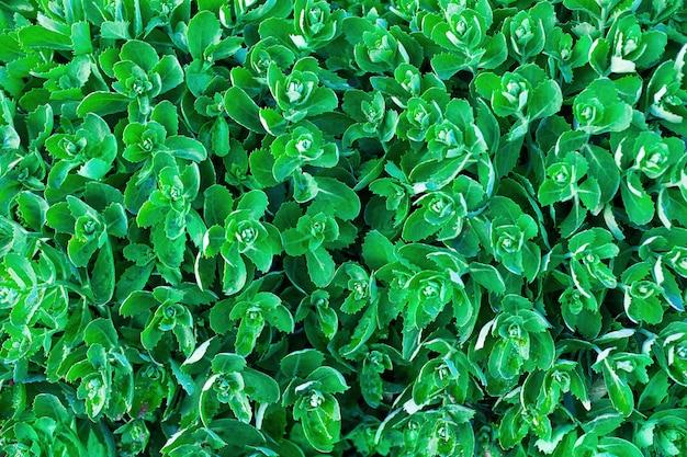 Les feuilles des plantes orpines font un fond vert. motif de feuillage vert.
