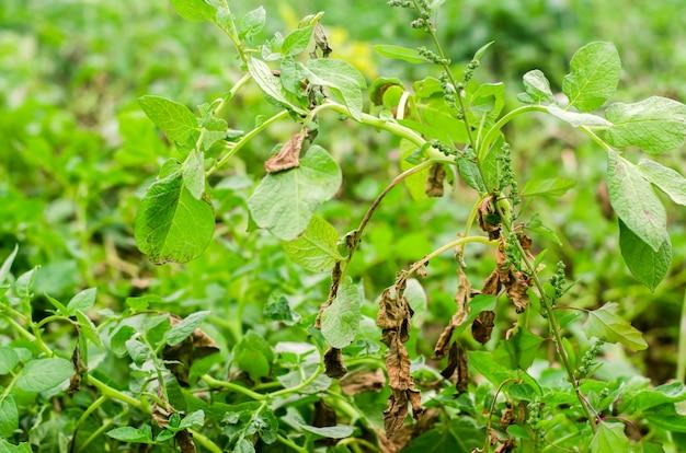 Feuilles de pomme de terre avec des maladies. phytophthora frappée de pomme de terre