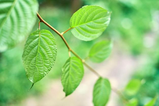 Feuilles de raisin dans le vignoble. feuilles de vigne verte au jour de septembre ensoleillé.