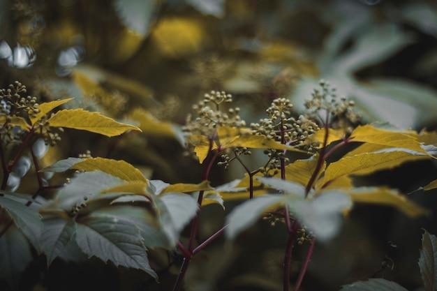 Feuilles de raisin sauvage. saison de printemps. plante verte.