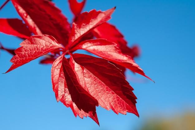 Feuilles de raisins maiden d'automne rouge sur fond de ciel bleu parthenocissus quinquefolia
