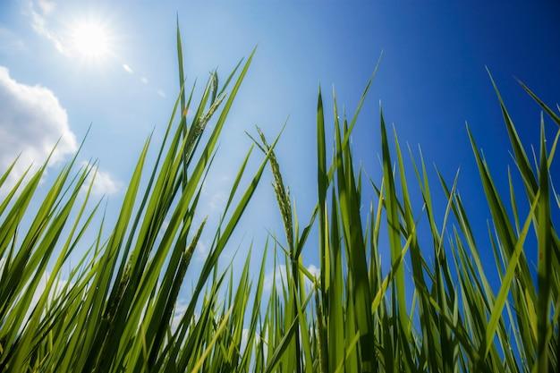Feuilles de riz vert avec un ciel bleu.