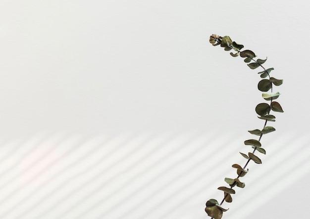 Feuilles rondes d'eucalyptus par un mur blanc