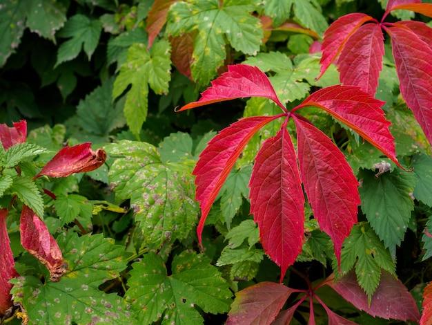 Feuilles rouge vif de raisins sauvages lierre saison d'automne une plante grimpante du vert au rouge d'automne