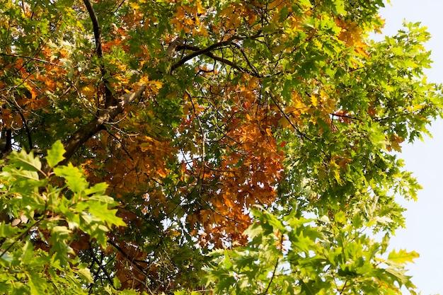 Feuilles rougies sur les branches de chêne en automne, temps chaud et ensoleillé au début de l'automne, gros plan