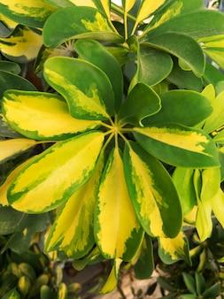 Feuilles d'un schefflera arboricola ou d'une plante d'arbre parapluie. surface