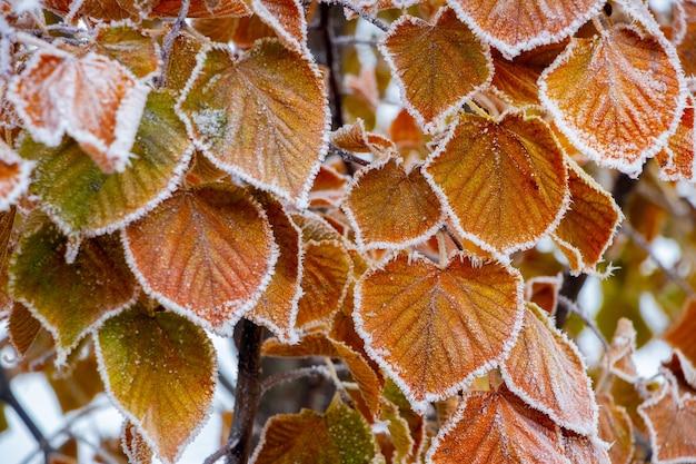 Feuilles sèches couvertes de givre sur une branche d'arbre. matin glacial dans le jardin