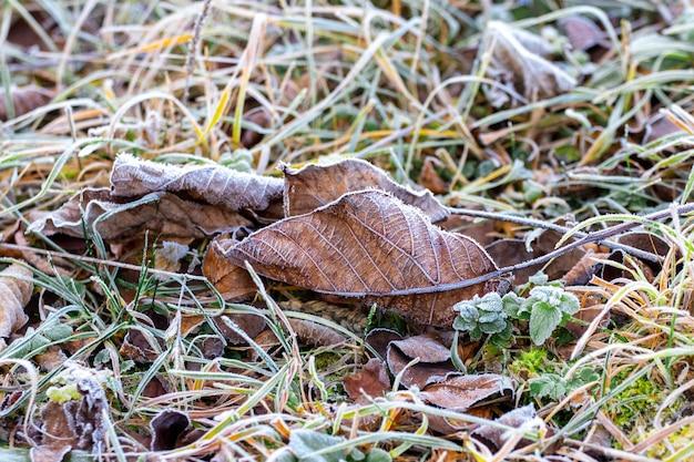Feuilles sèches couvertes de givre sur l'herbe pendant le gel le matin