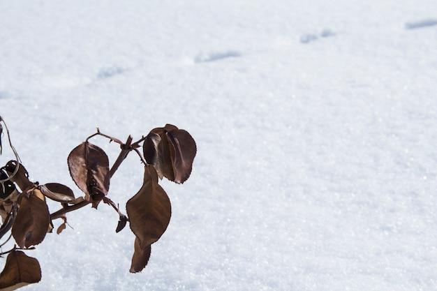 Feuilles sèches oranges sur une branche d'une rose sur fond de neige. rosiers séchés en hiver