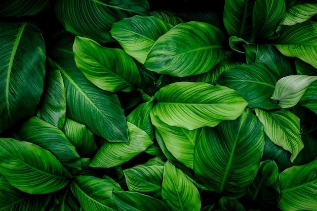 Feuilles de spathiphyllum cannifolium texture verte abstraite fond nature feuille tropicale