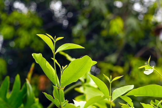 Feuilles de syzygium polyanthum, avec des noms communs feuille de laurier indienne et feuille de laurier indonésienne, traditionnellement utilisées comme arôme alimentaire