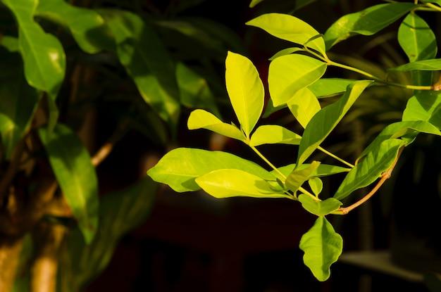 Feuilles de syzygium polyanthum, avec des noms communs feuille de laurier indienne et feuille de laurier indonésienne