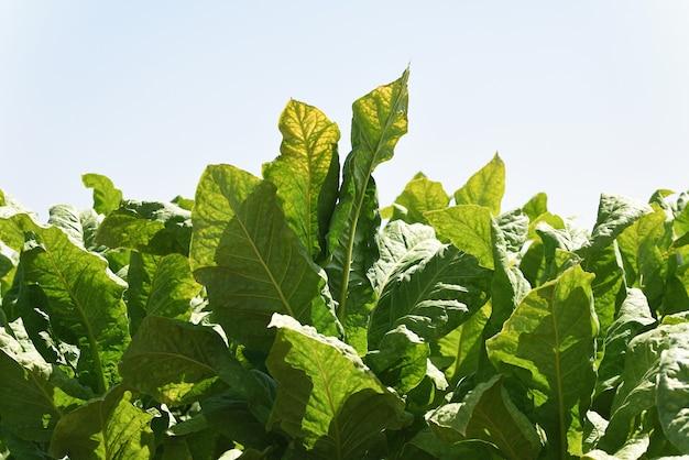 Feuilles de tabac vert frais en plantation