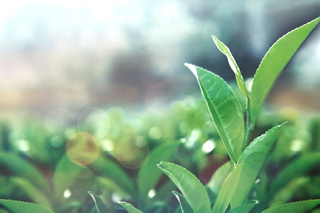 Feuilles de thé en bonne santé