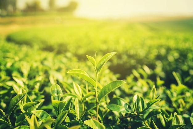 Feuilles de thé fraîches le matin avec lumière du soleil
