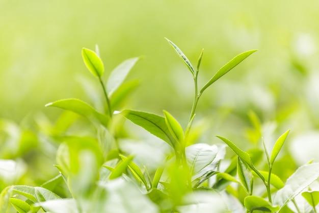 Feuilles de thé frais dans la matinée sur le champ de plantation de thé
