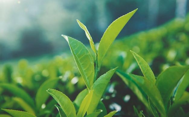 Feuilles de thé vert au sri lanka.