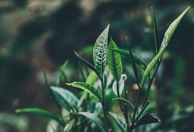 Feuilles de thé vert dans une plantation de thé le matin
