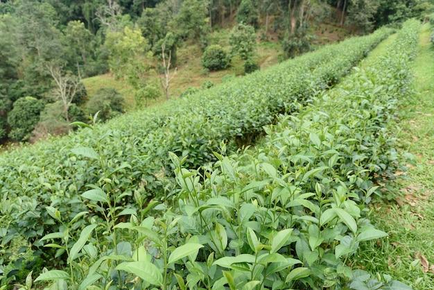 Feuilles de thé vert dans une plantation de thé