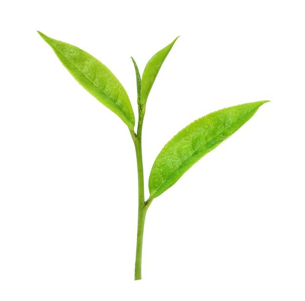 Feuilles de thé vert frais avec des gouttes d'eau isolé sur fond blanc.