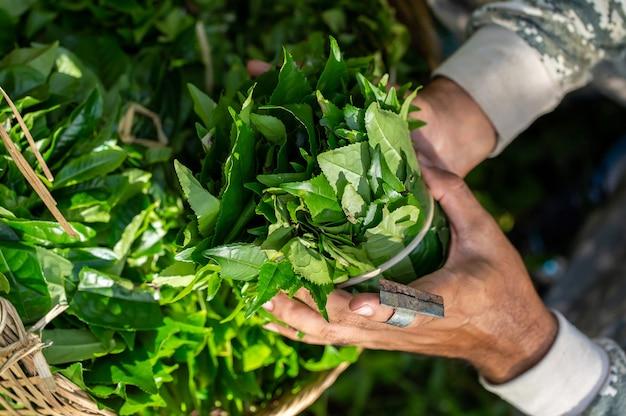 Feuilles de thé vert frais gros plan