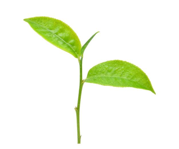 Feuilles de thé vert avec des gouttes d'eau isolé sur blanc.