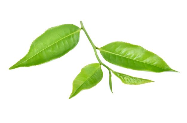 Feuilles de thé vert isolés sur fond blanc