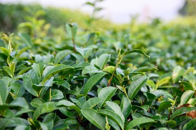 Feuilles de thé vert en plantation