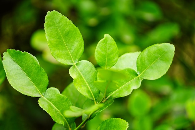Feuilles de tilleul kaffir sur la feuille d'arbre bergamote