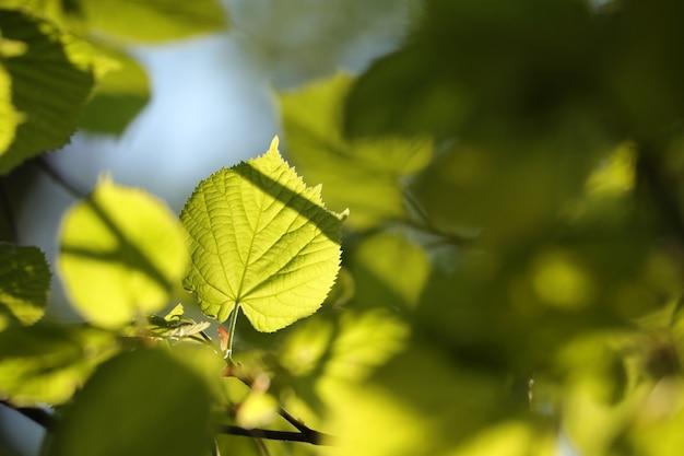 Feuilles de tilleul de printemps sur une brindille dans la forêt