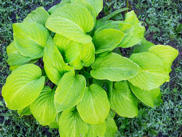 Feuilles vert clair de l'hosta. gouttes de rosée sur les feuilles de l'hosta
