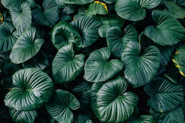 Feuilles vert foncé homalomena feuille rubescent (roi de coeur) fond texturé