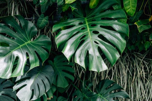 Feuilles vert foncé monstera ou philodendron fendu