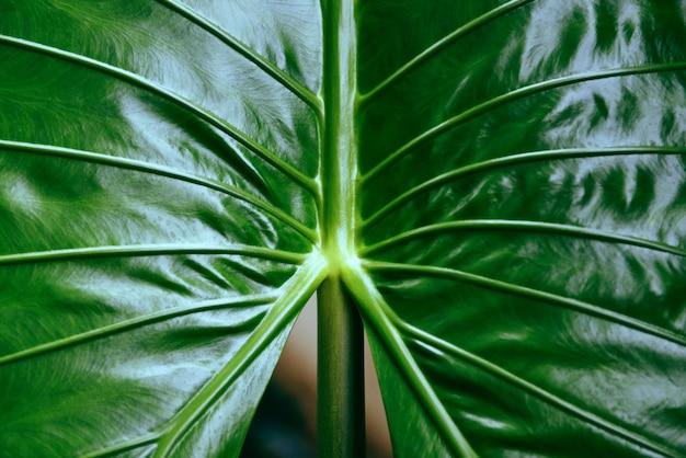 Feuilles vertes araceae feuille de taro géant