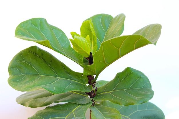 Feuilles vertes d'arbre de lyrate de ficus