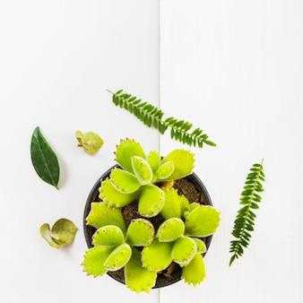 Feuilles vertes autour de pot succulente