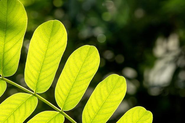 Feuilles vertes de la branche de senna alata sur la surface de la nature.