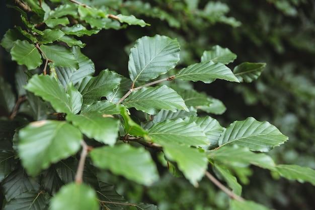 Les feuilles vertes sur la branche