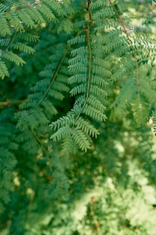 Feuilles vertes des branches d'albizia agrandi