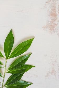 Feuilles vertes brindille sur un vieux fond blanc