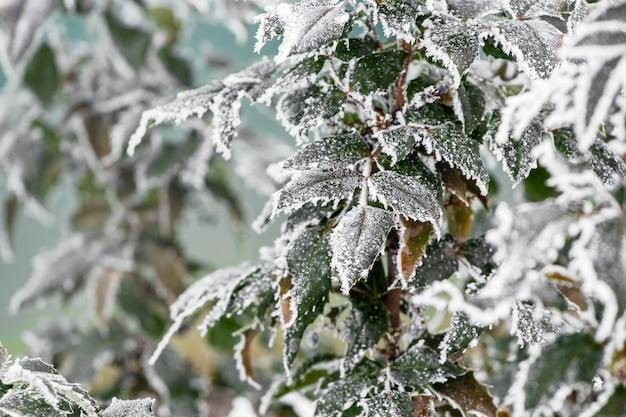 Feuilles vertes couvertes de givre de plantes ornementales dans le jardin au début de l'hiver