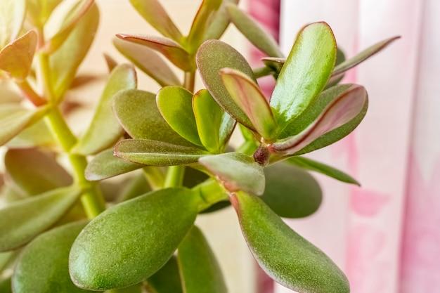 Feuilles vertes d'un crassulacea sur fond croustillant plante d'intérieur pour la décoration