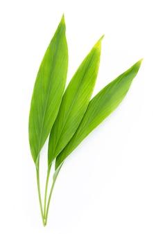 Feuilles vertes de curcuma sur fond blanc.