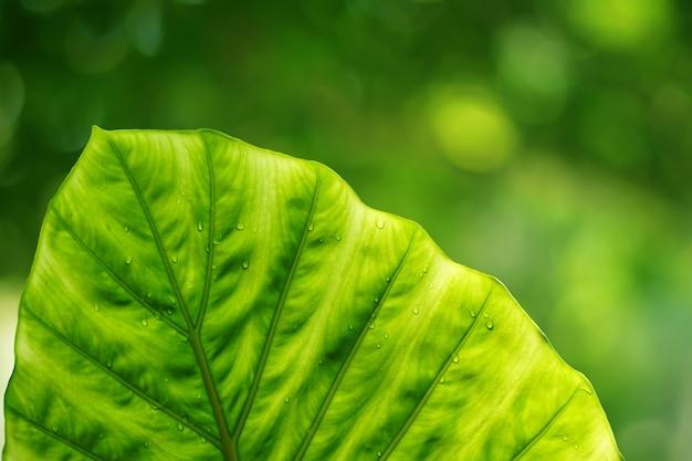 Feuilles vertes dans le jardin feuilles de taro vertes dans un beau jardin naturel