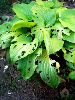Feuilles vertes dans le jardin mangées par les limaces.