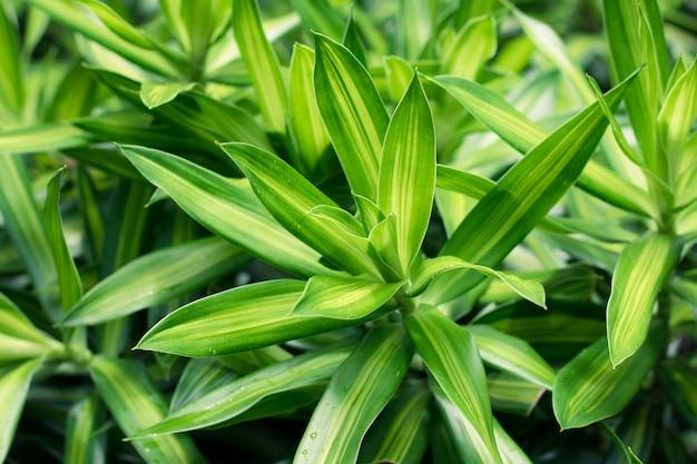 Les feuilles vertes de dracaena se referment pour servir de toile de fond.
