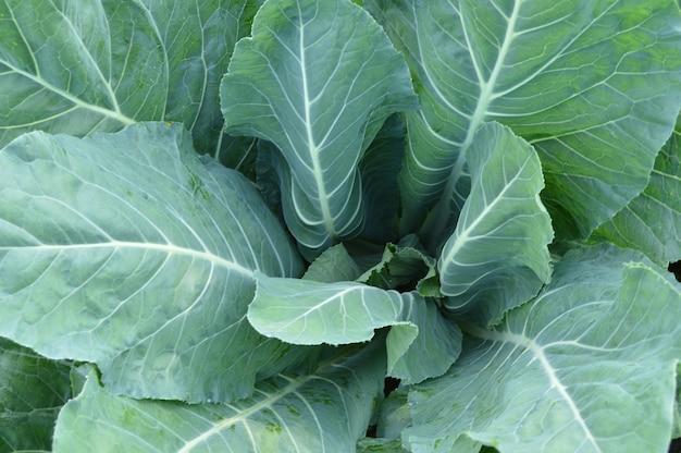 Feuilles vertes du chou-fleur, un jeune plant de légume poussant dans le sol.