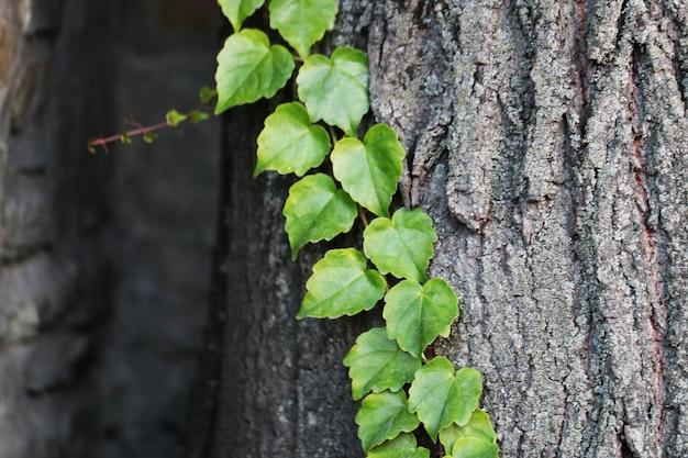 Feuilles vertes sur l'écorce de chêne bouclée