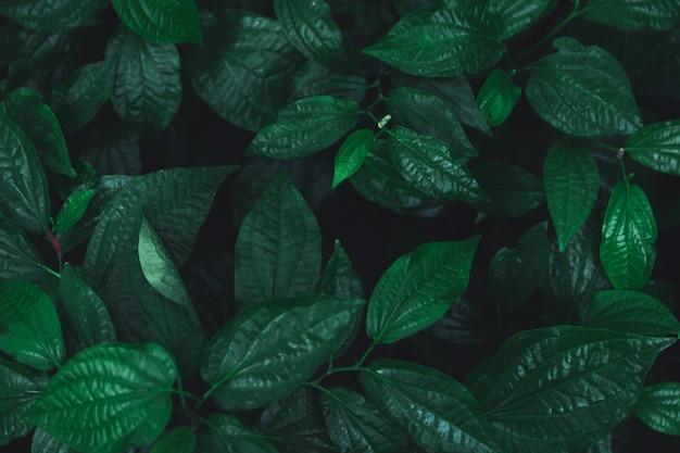 Feuilles vertes de fond. bétel sauvage leafbush nature fond de ton vert foncé.