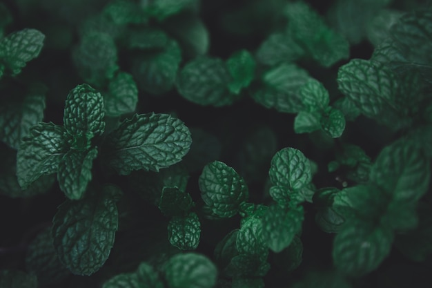 Feuilles vertes de fond. feuilles de menthe poivrée verte fond. lay plat. fond de ton vert foncé de nature.